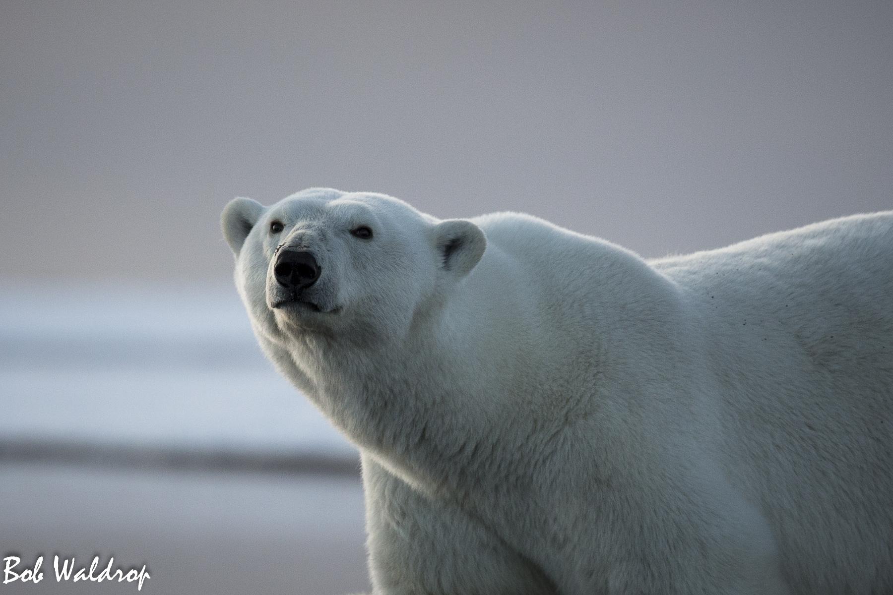 Polar Bears 1800 px -2.jpg
