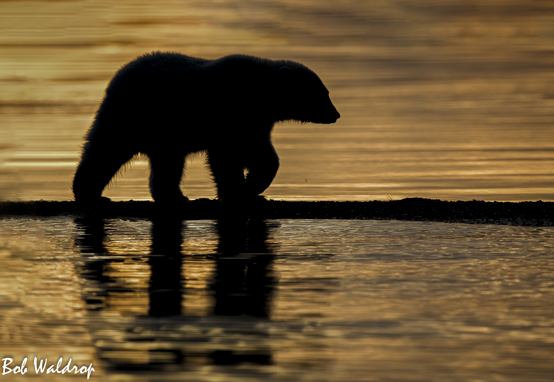 Polar Bears 1800 px --3.jpg