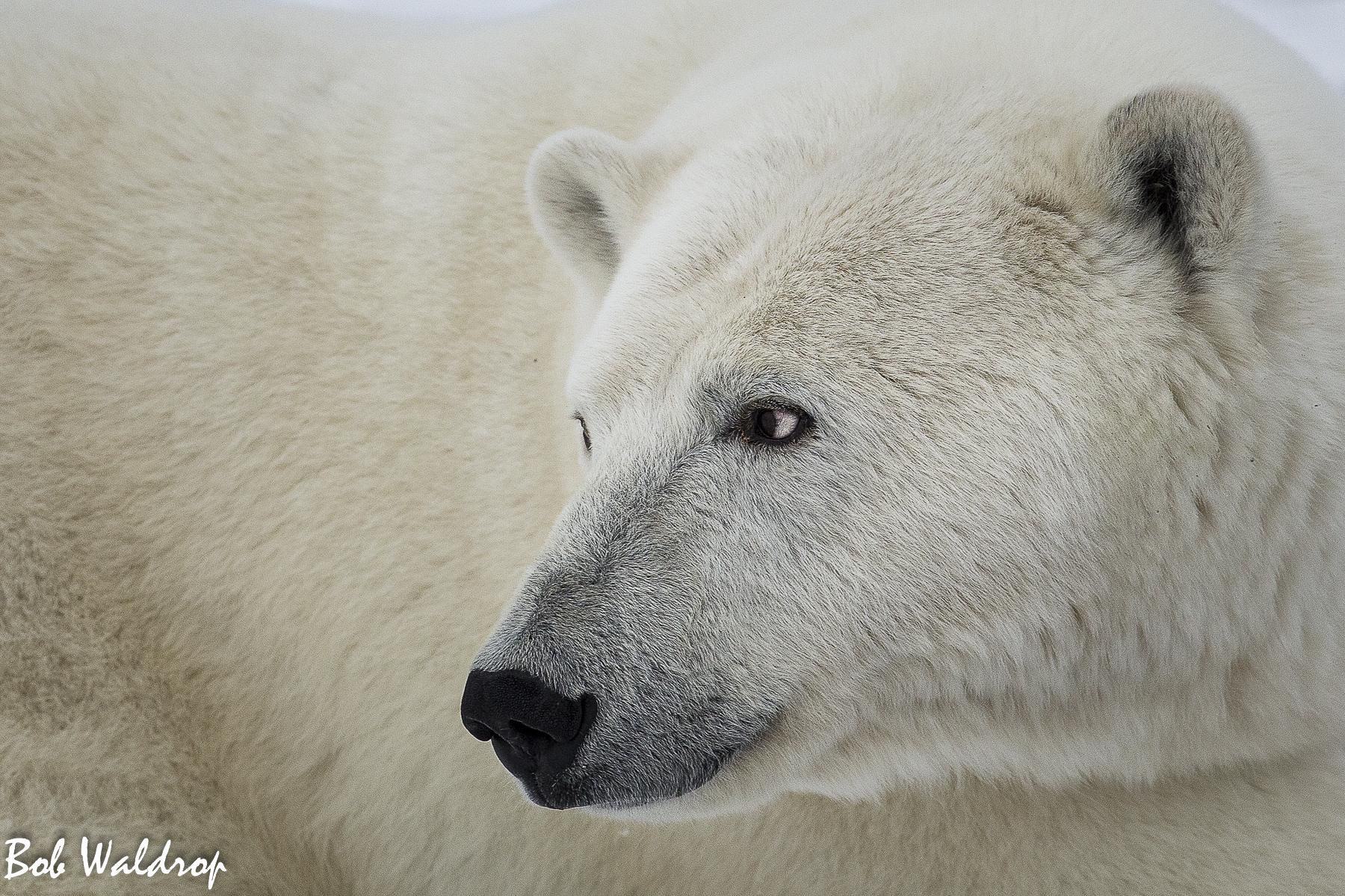 Polar Bears 1800 px --2.jpg