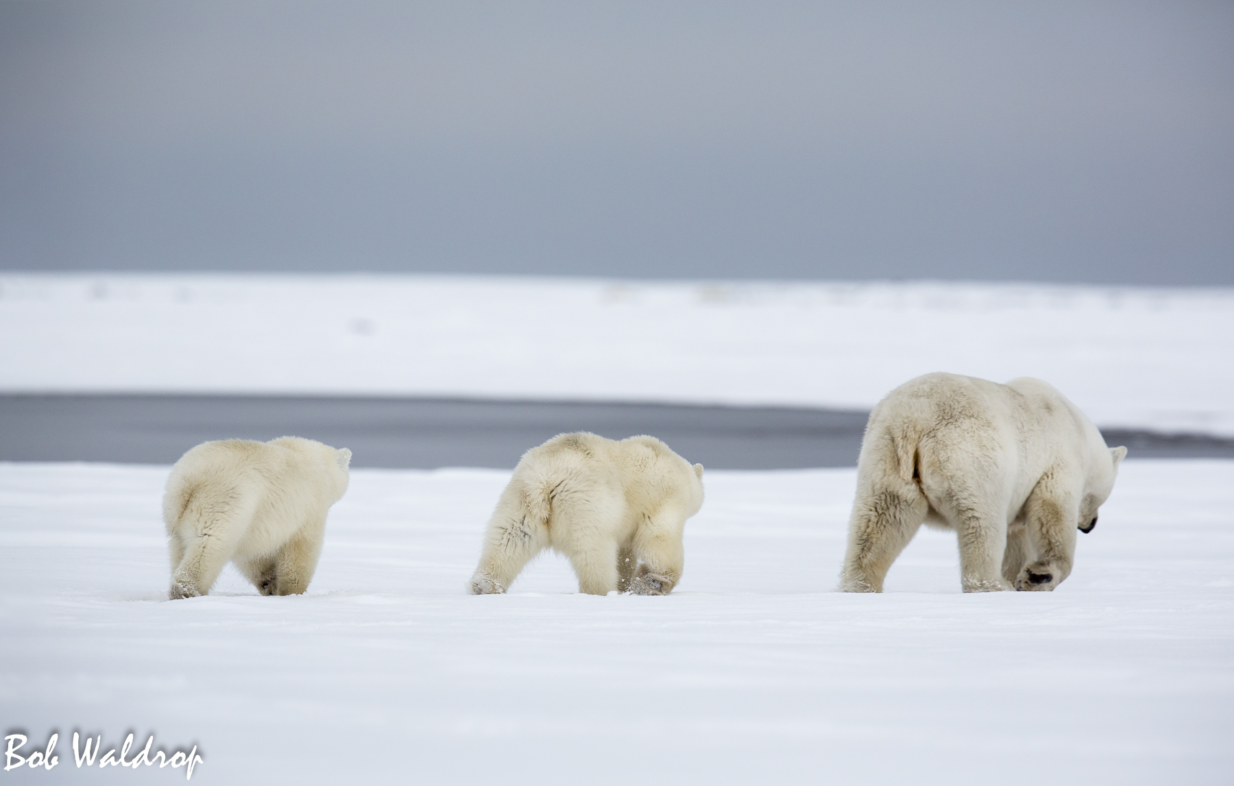 Polar Bears 1800 px --4.jpg