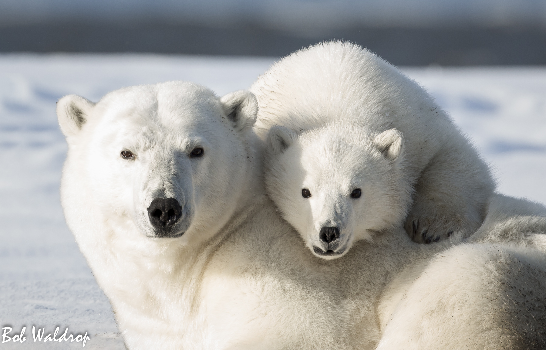 Polar Bears 1800 px --5.jpg