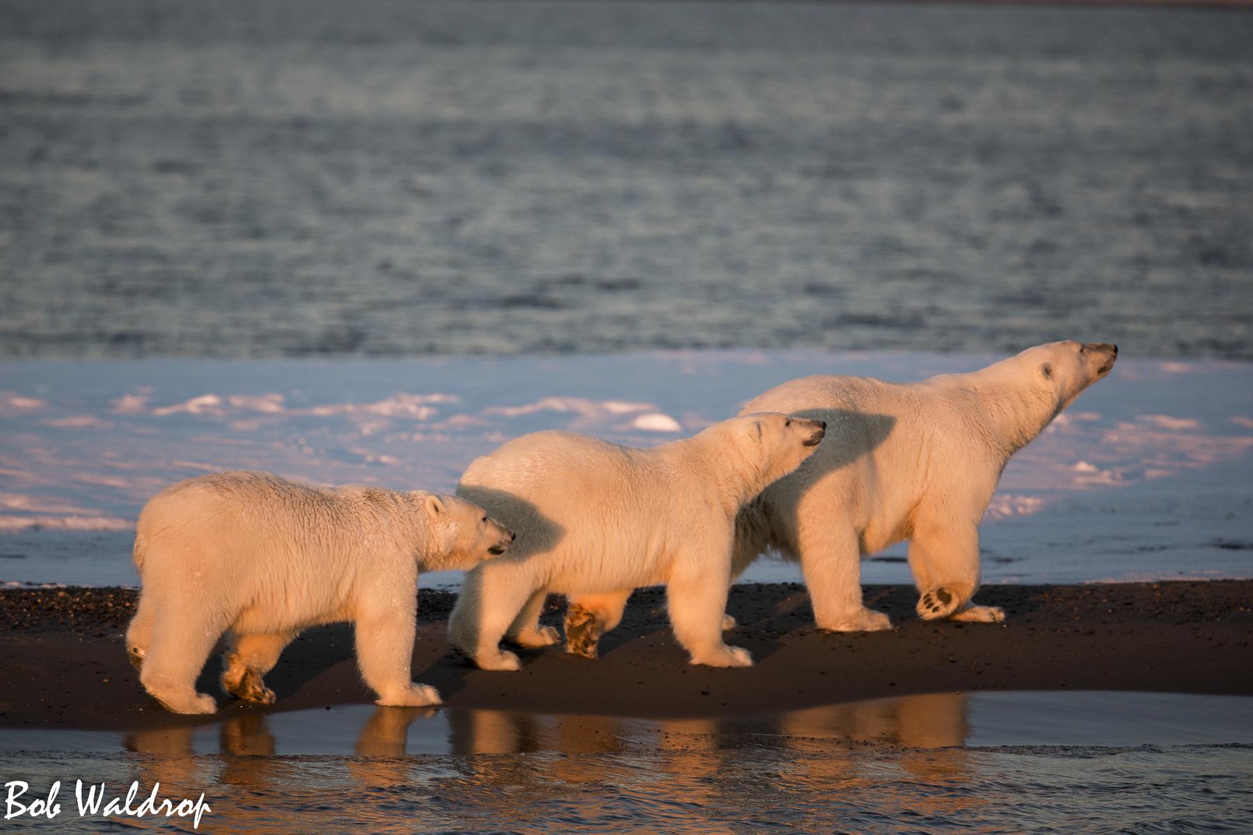 Polar Bears 1800 px -2042.jpg