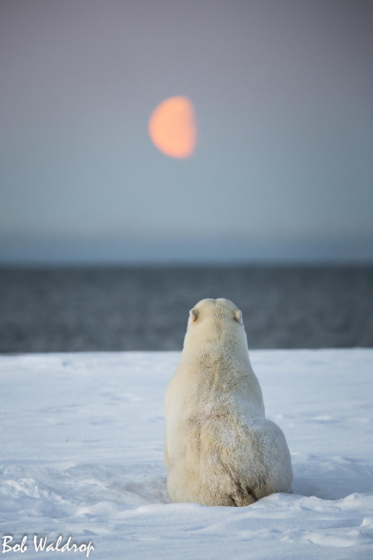 Polar Bears 1800 px -2429.jpg