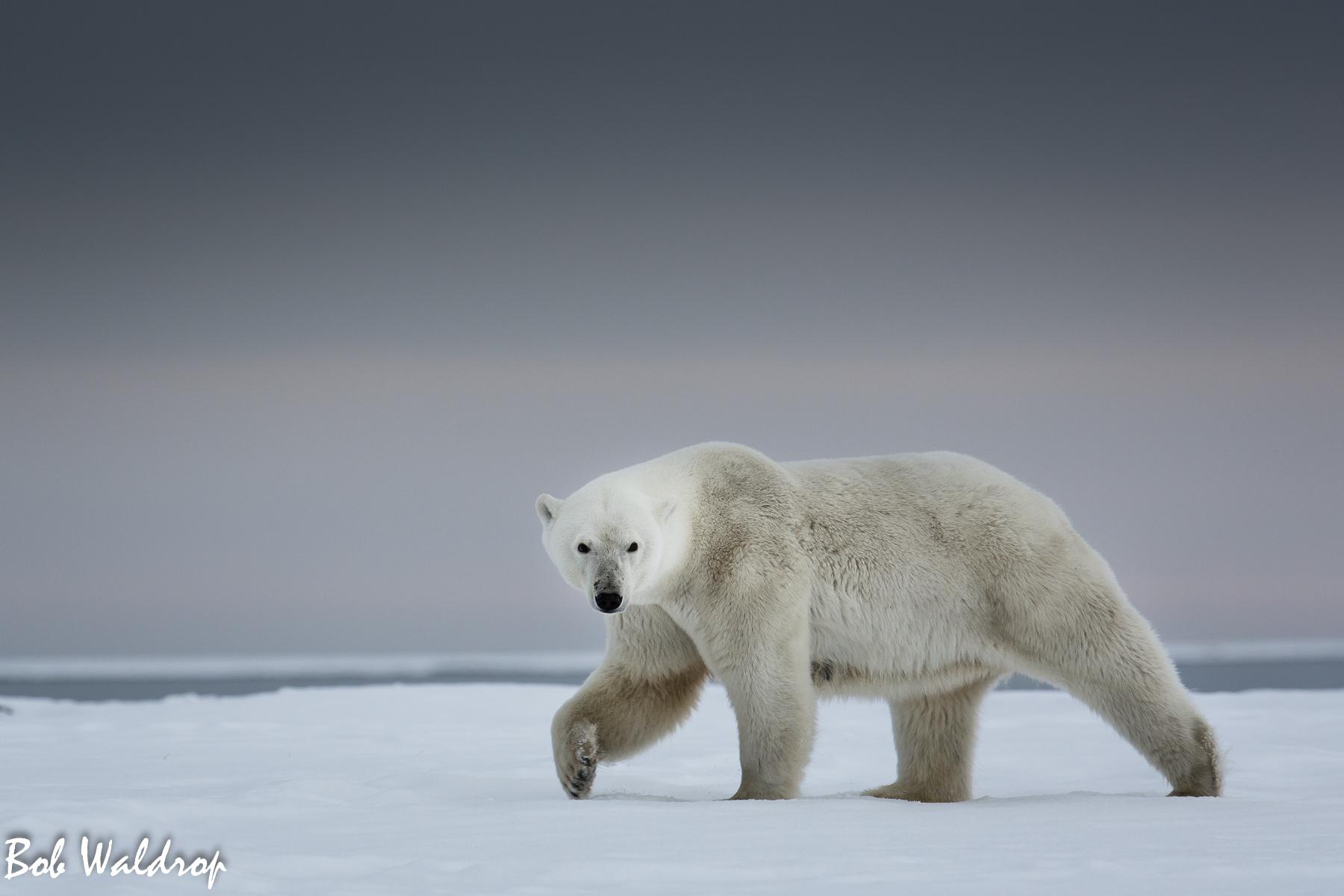 Polar Bears 1800 px -3412.jpg