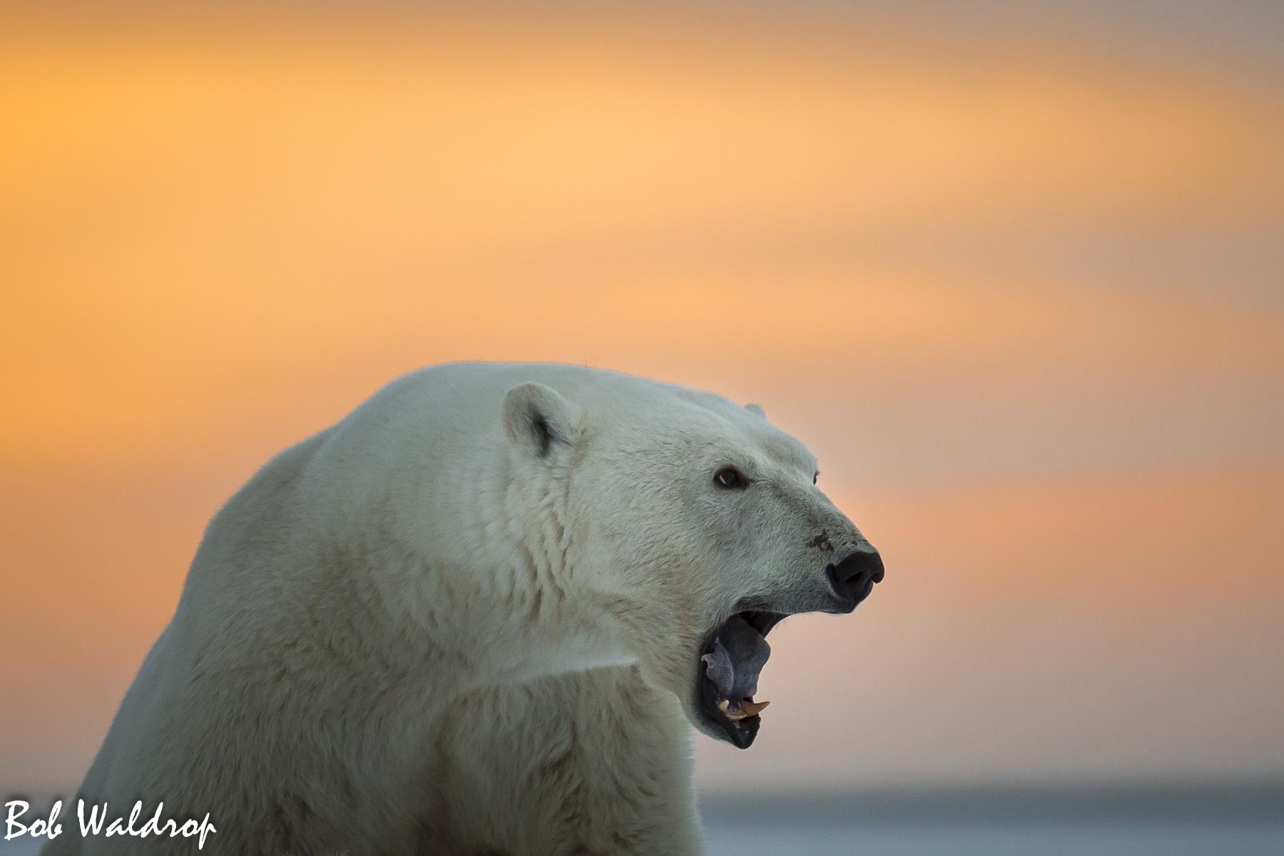 Polar Bears 1800 px -2872.jpg