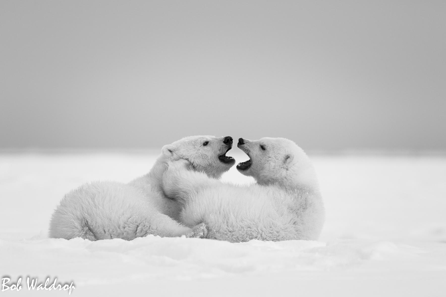 Polar Bears 1800 px -4394.jpg