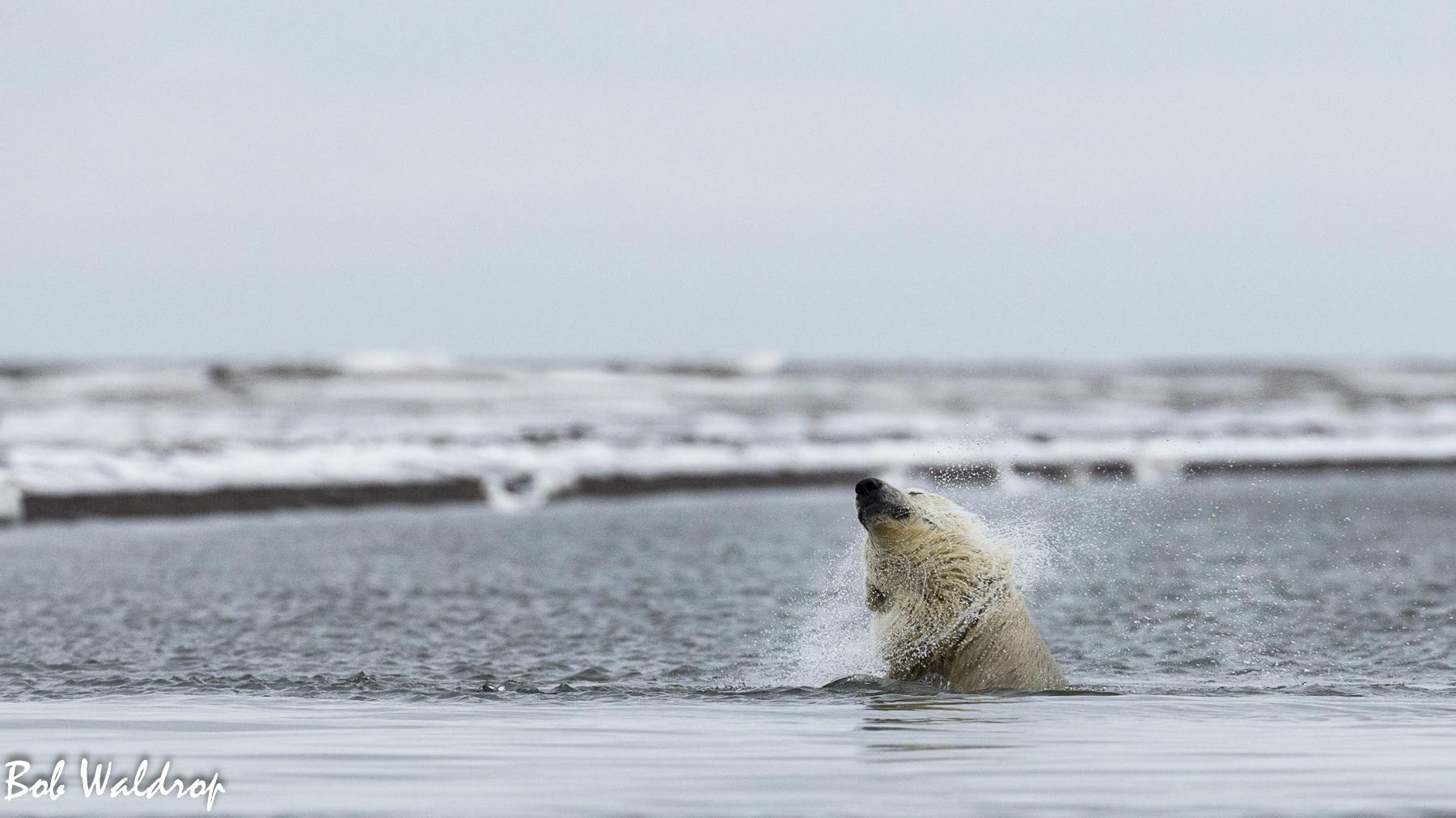 Polar Bears 1800 px -3657.jpg