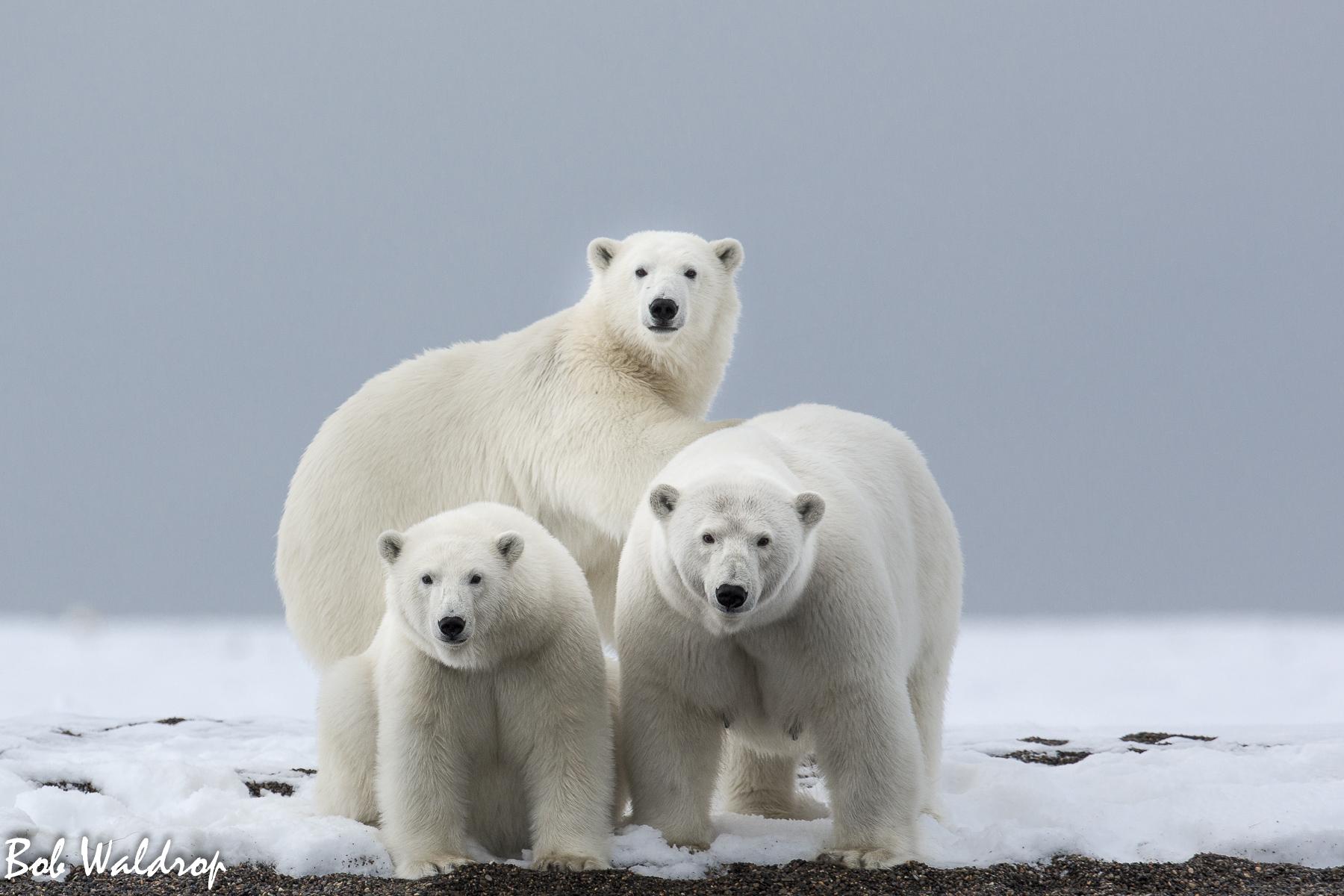 Polar Bears 1800 px -4827.jpg
