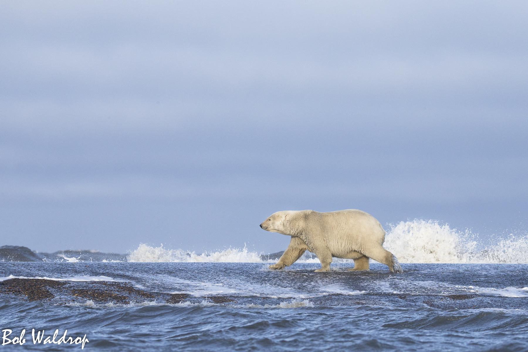 Polar Bears 1800 px -4545.jpg