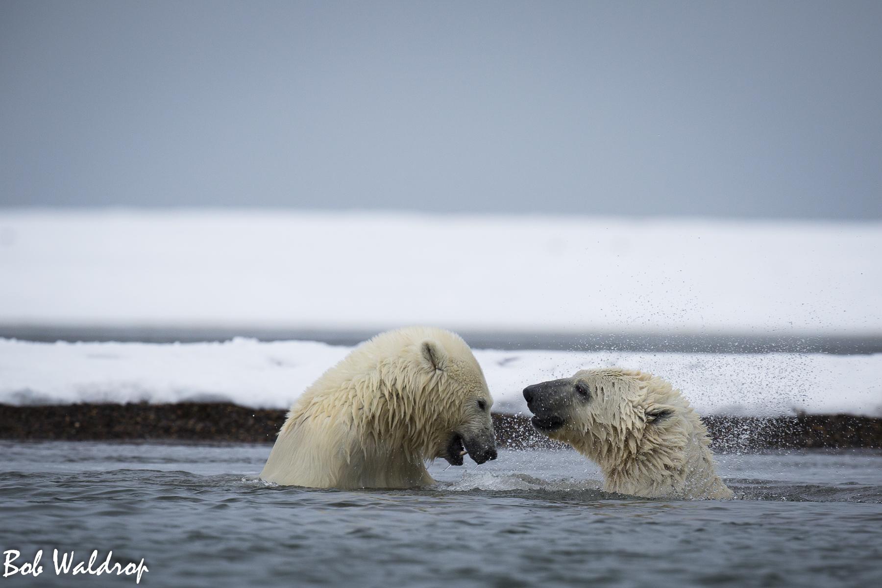 Polar Bears 1800 px -5047.jpg