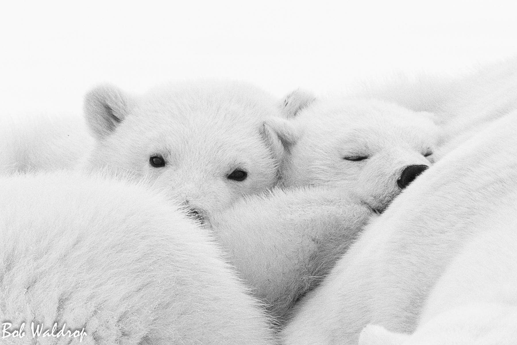 Polar Bears 1800 px -5520.jpg