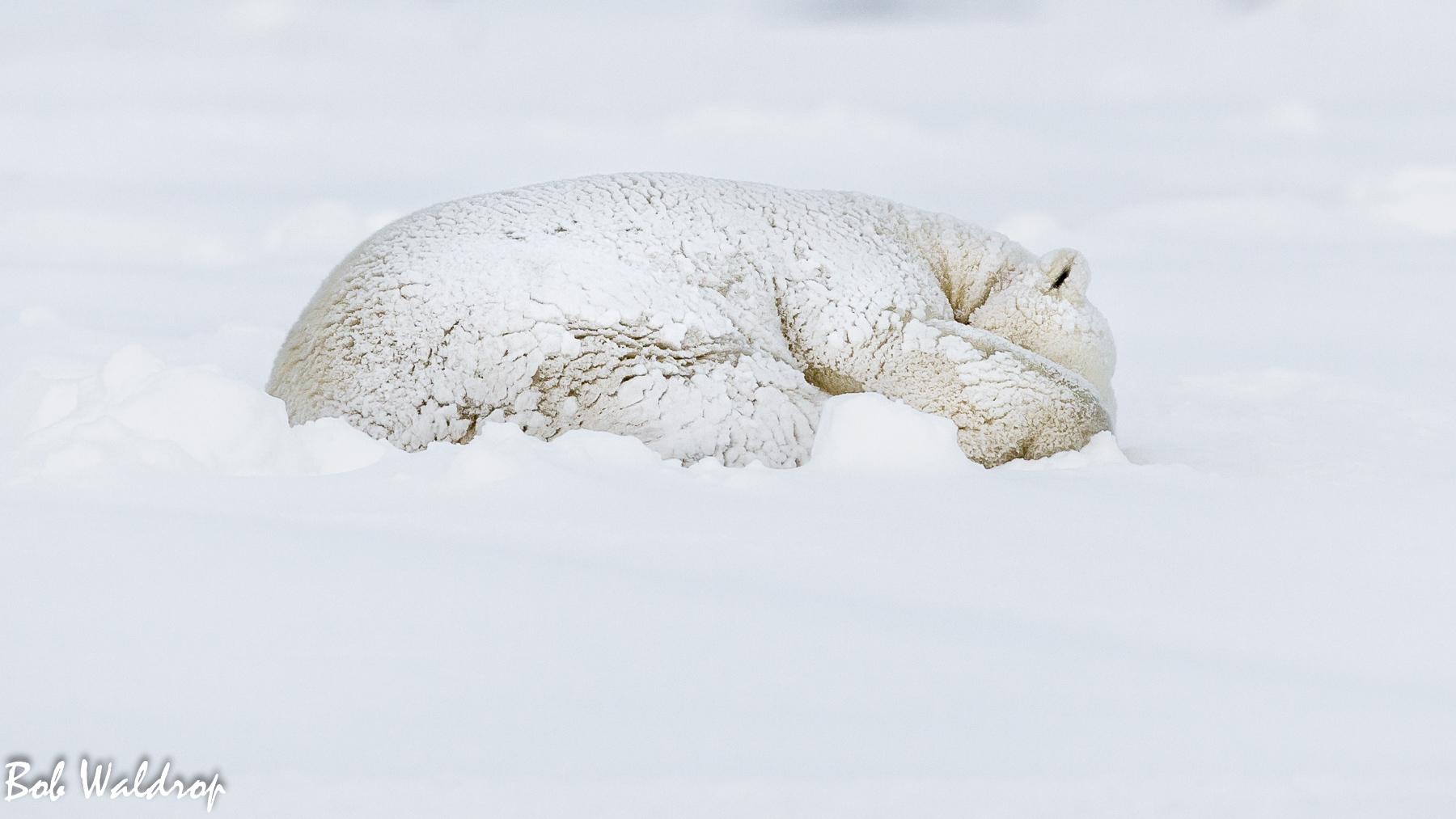 Polar Bears 1800 px -5550.jpg