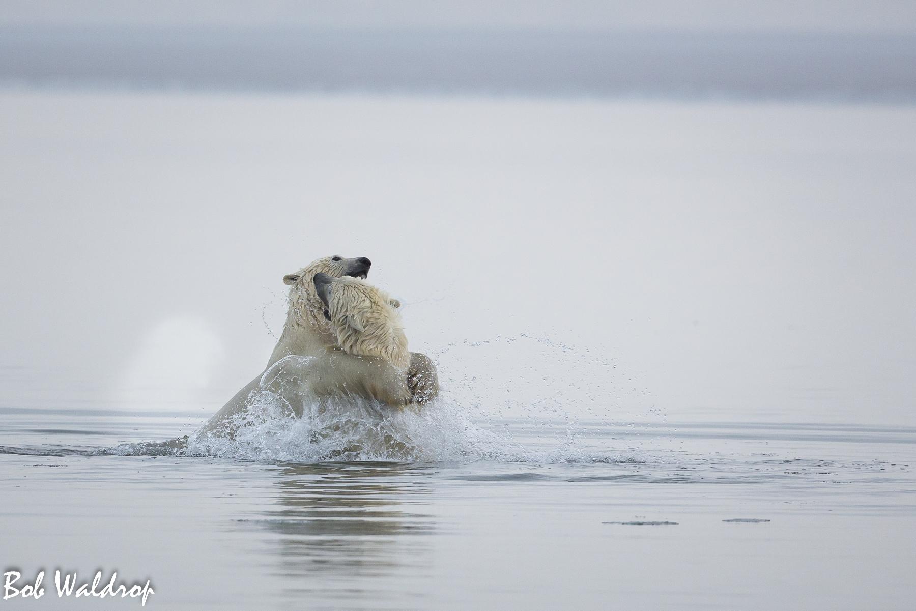 Polar Bears 1800 px -8717.jpg