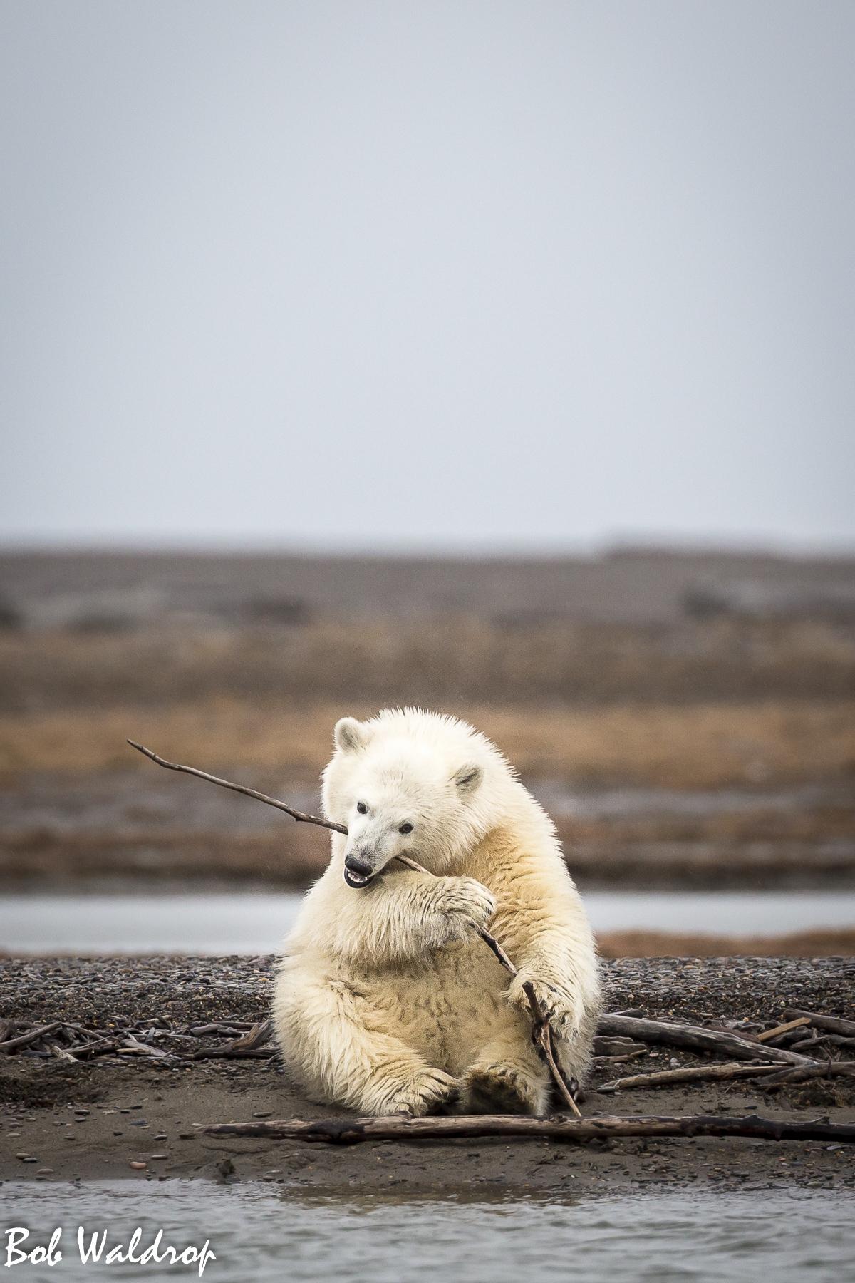 Polar Bears 1800 px -9400.jpg