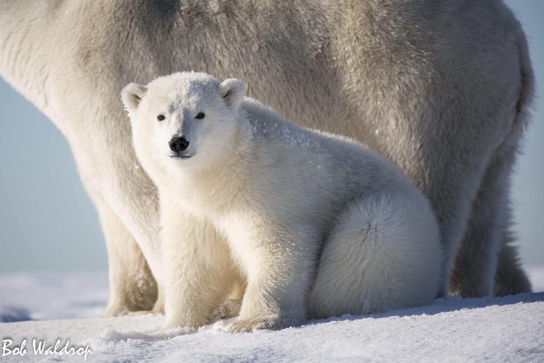 Polar Bears 1800 px -9851.jpg
