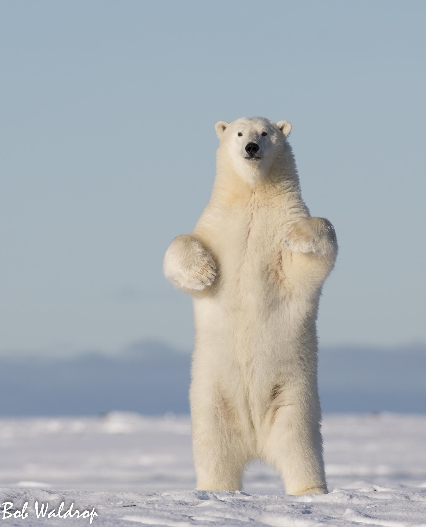 Polar Bears 1800 px -.jpg
