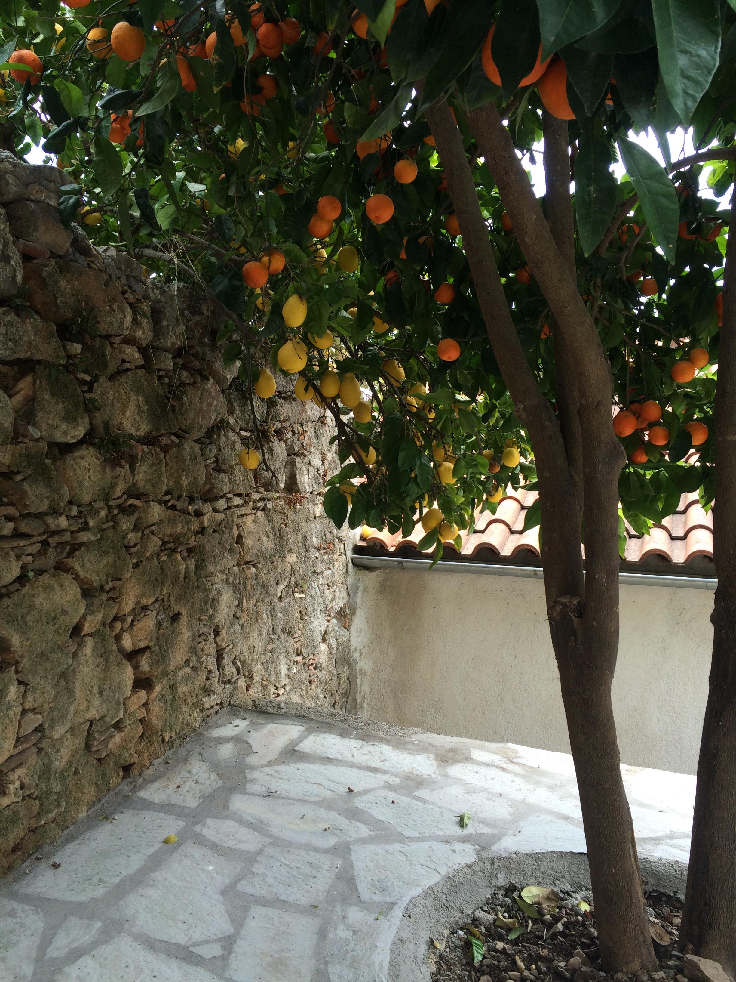 Oranges & Lemons in the Garden.JPG
