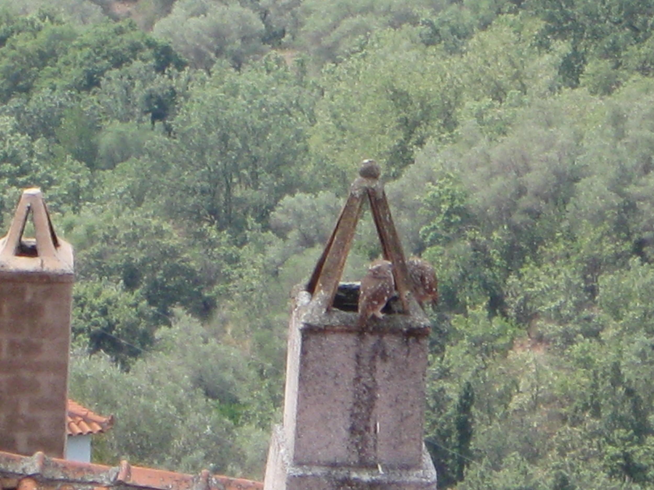Skops Owls in Chimney Opposite.JPG