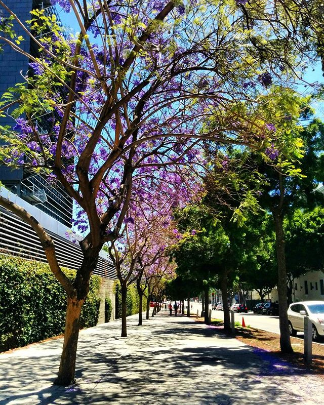 Feels like summer here in LA. Jacaranda trees spread out throughout the entire city are so gorgeous.  #jacaranda #summer #losangeles #walkingadventures