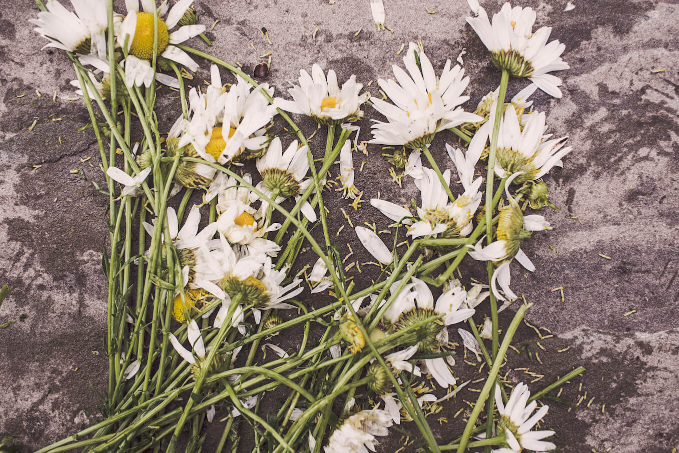 flowers-marguerites-destroyed-dead-2-2.jpg
