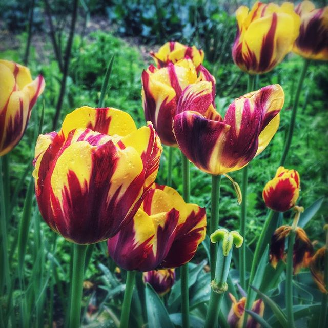 April showers. . . #springhassprung #travel #travelblogger #travelgram #ramblingaboutrambling #tulips 🌷🌷🌷