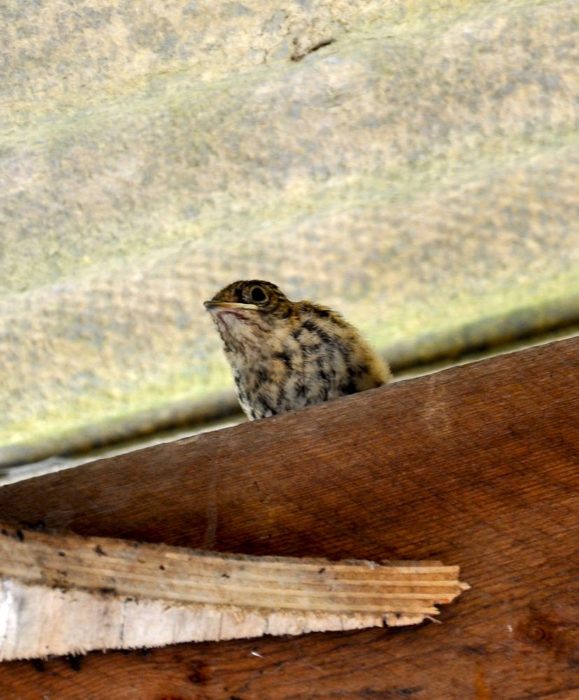 spotted fly catcher chick 1.jpg