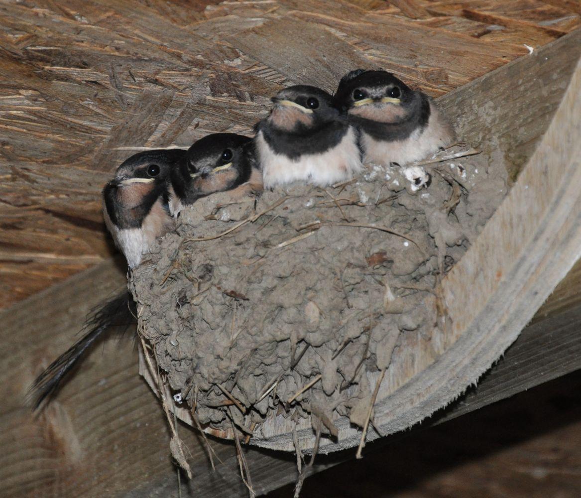 4 Swallow Chicks.jpg