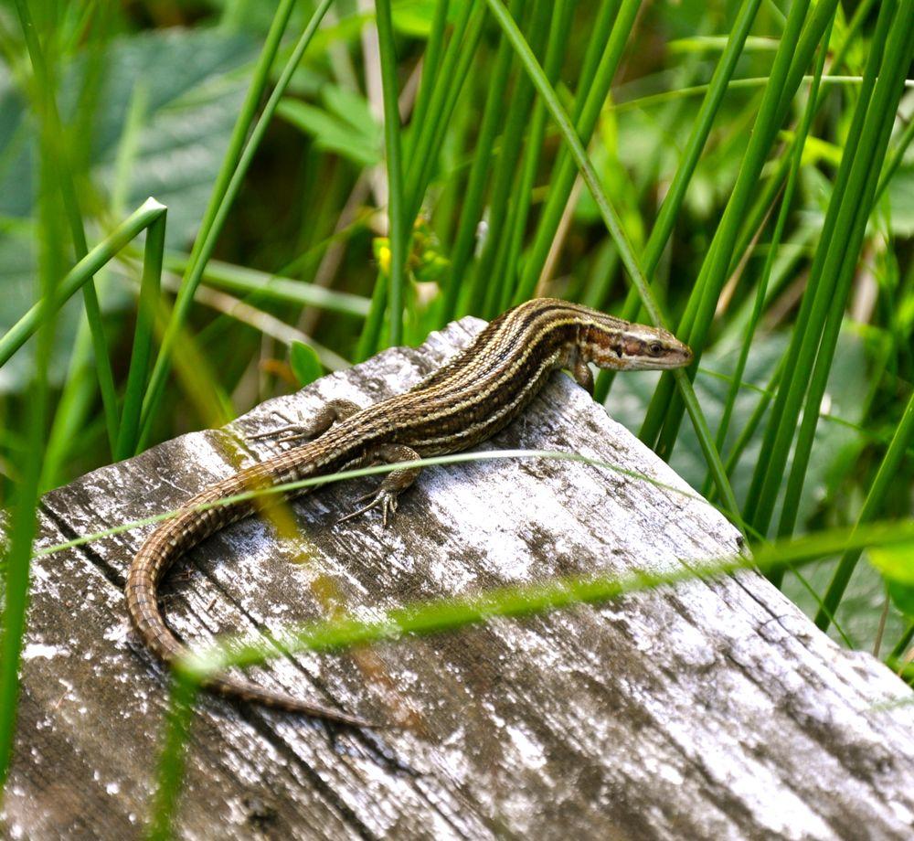 Brown Lizard.jpg