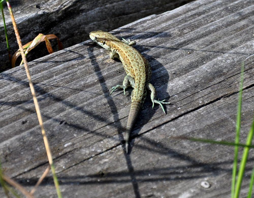 Stumpy Lizard.jpg