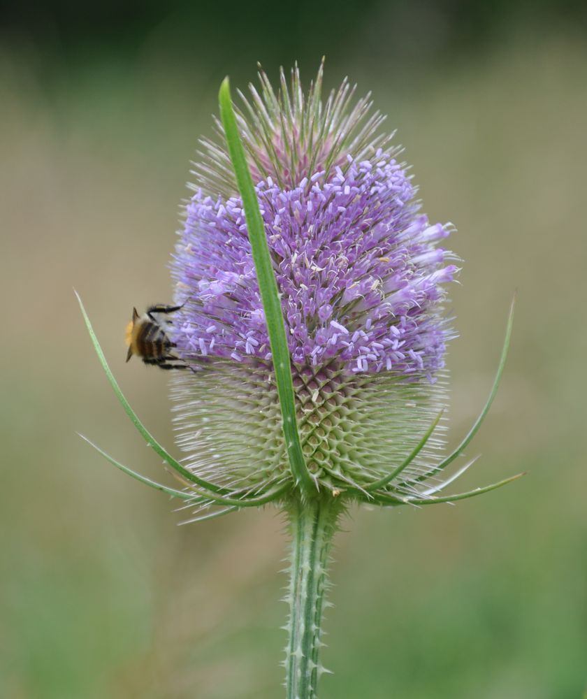 Teasle and Insect.jpg