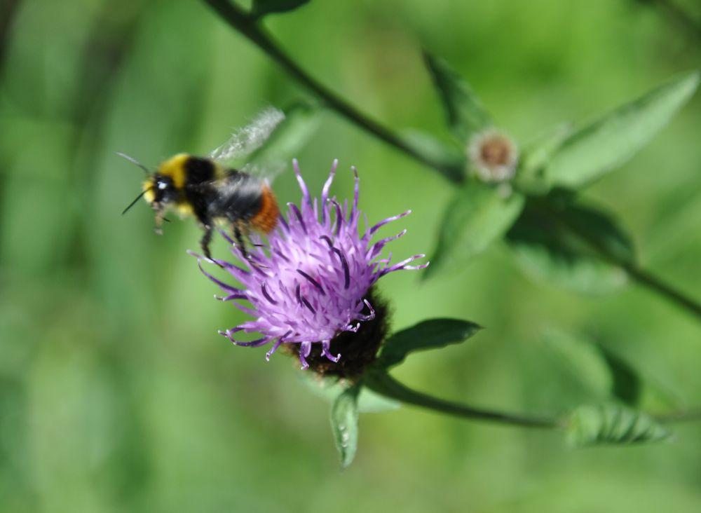 Bumblebee leaving a Knapweed.jpg