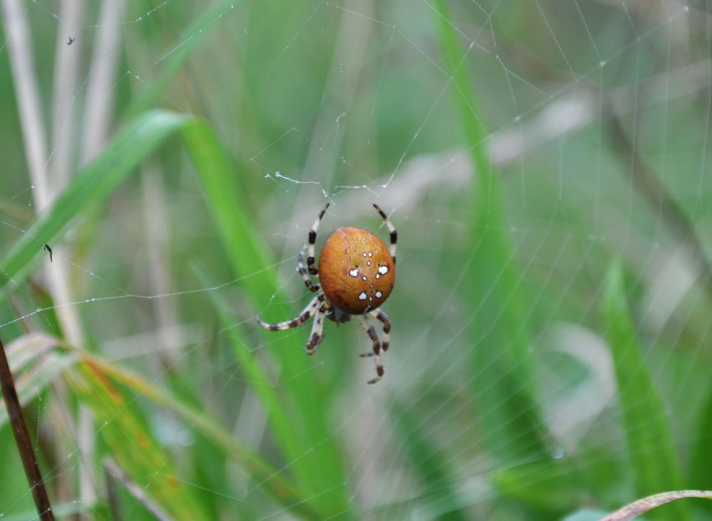 Spider waiting in its web.jpg