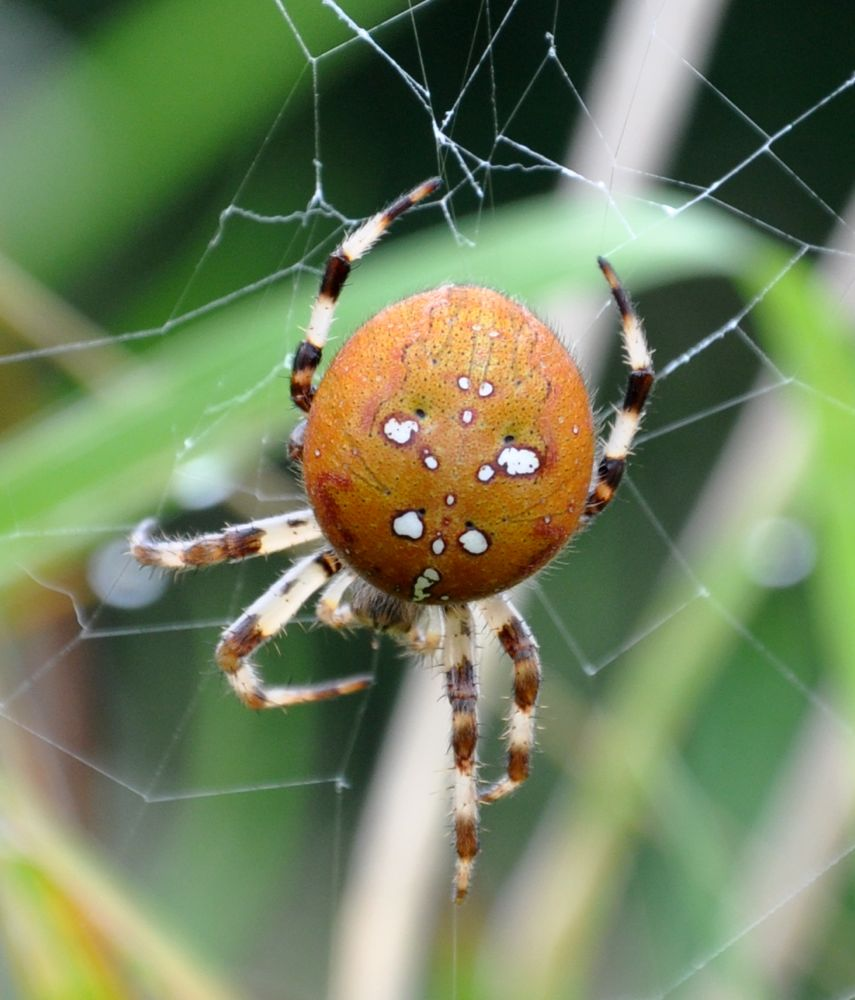 Close up of the Four Spotted Orb Spider.jpg
