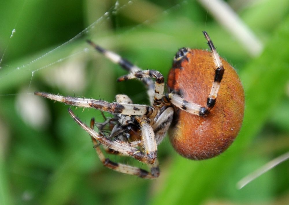 Spider with a fly in its jaws.jpg