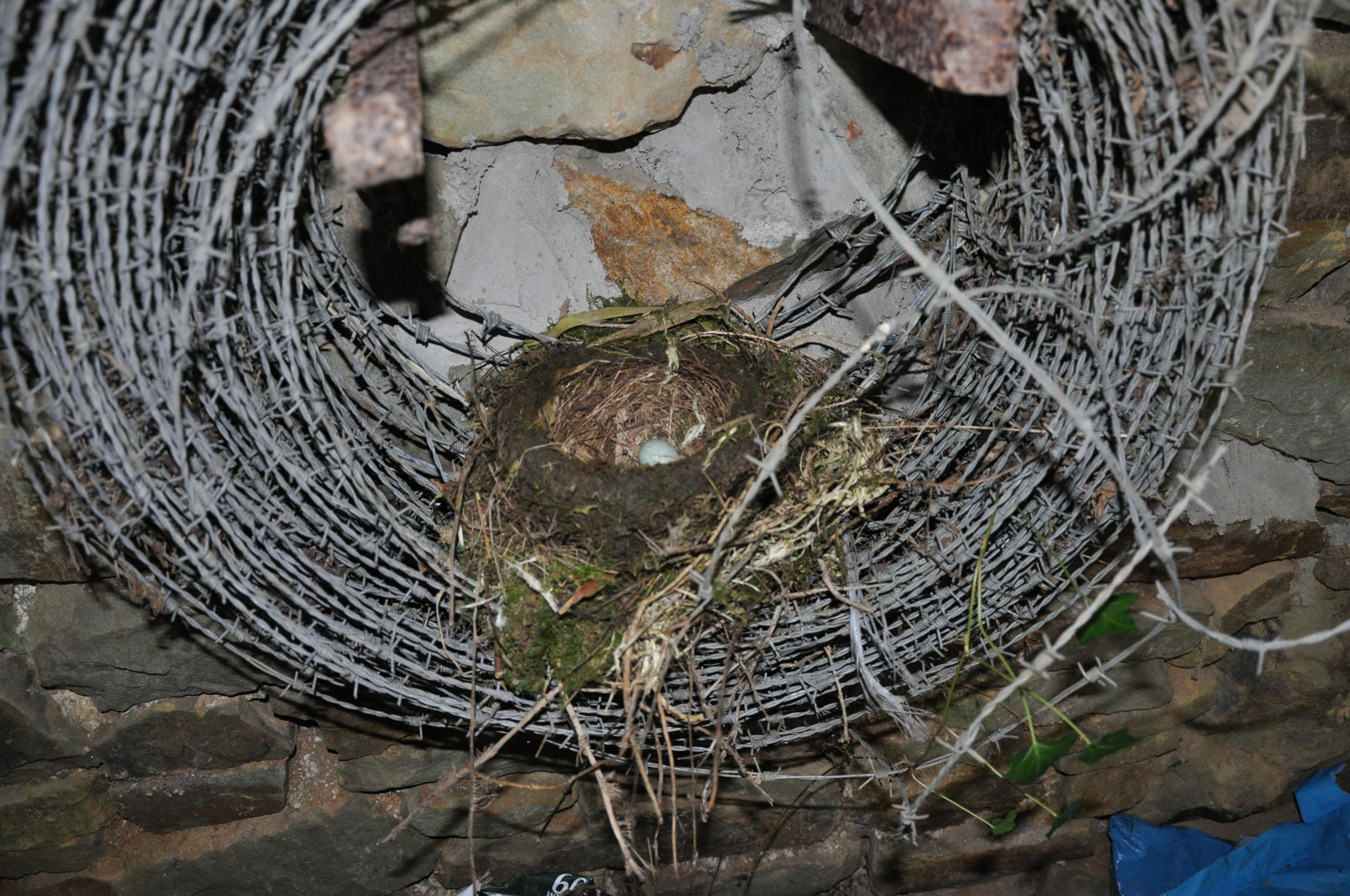 Blackbird's nest in a coil of barbed wire.jpg