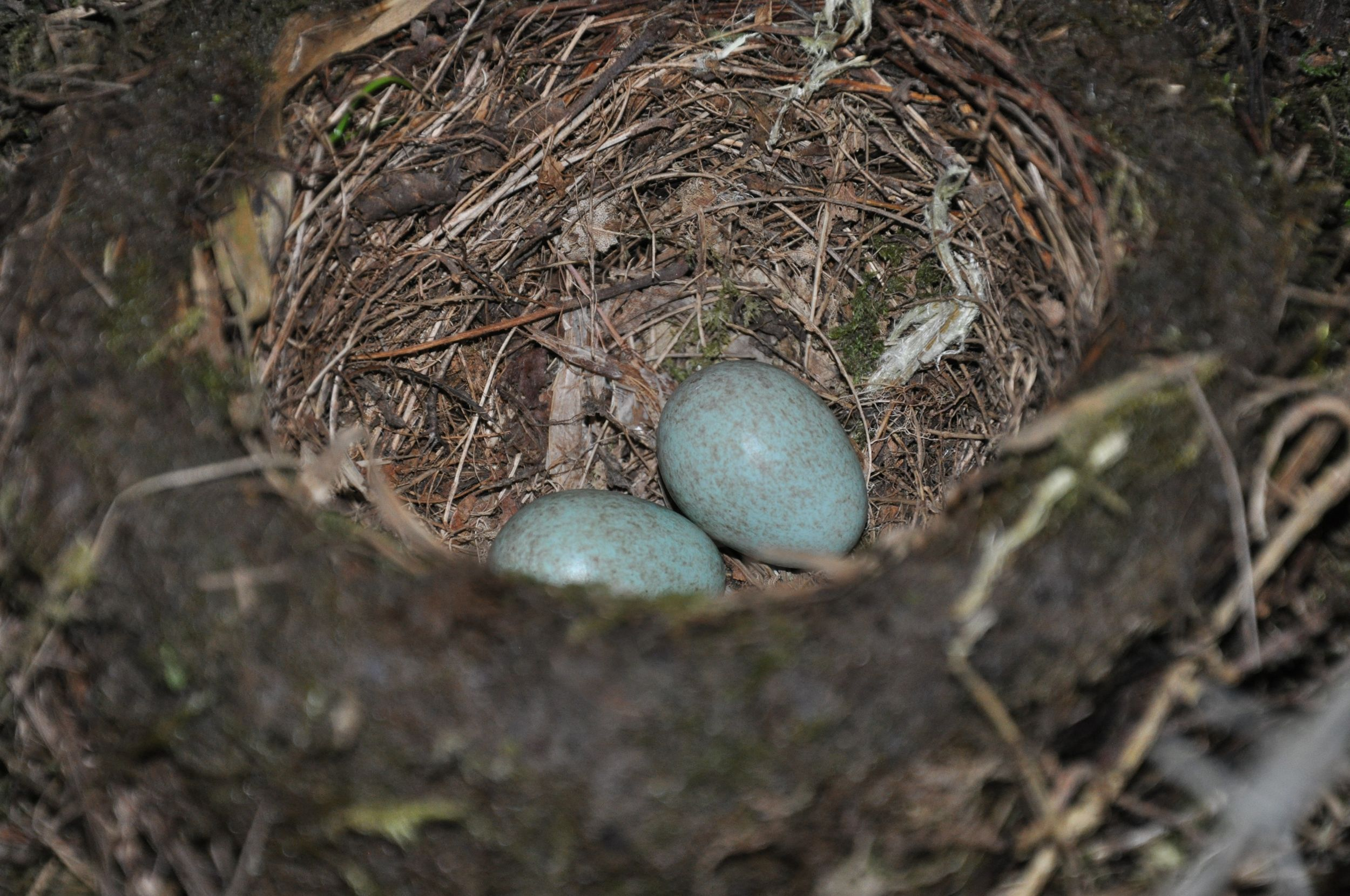 Close up of the Blackbird's Nest.jpg