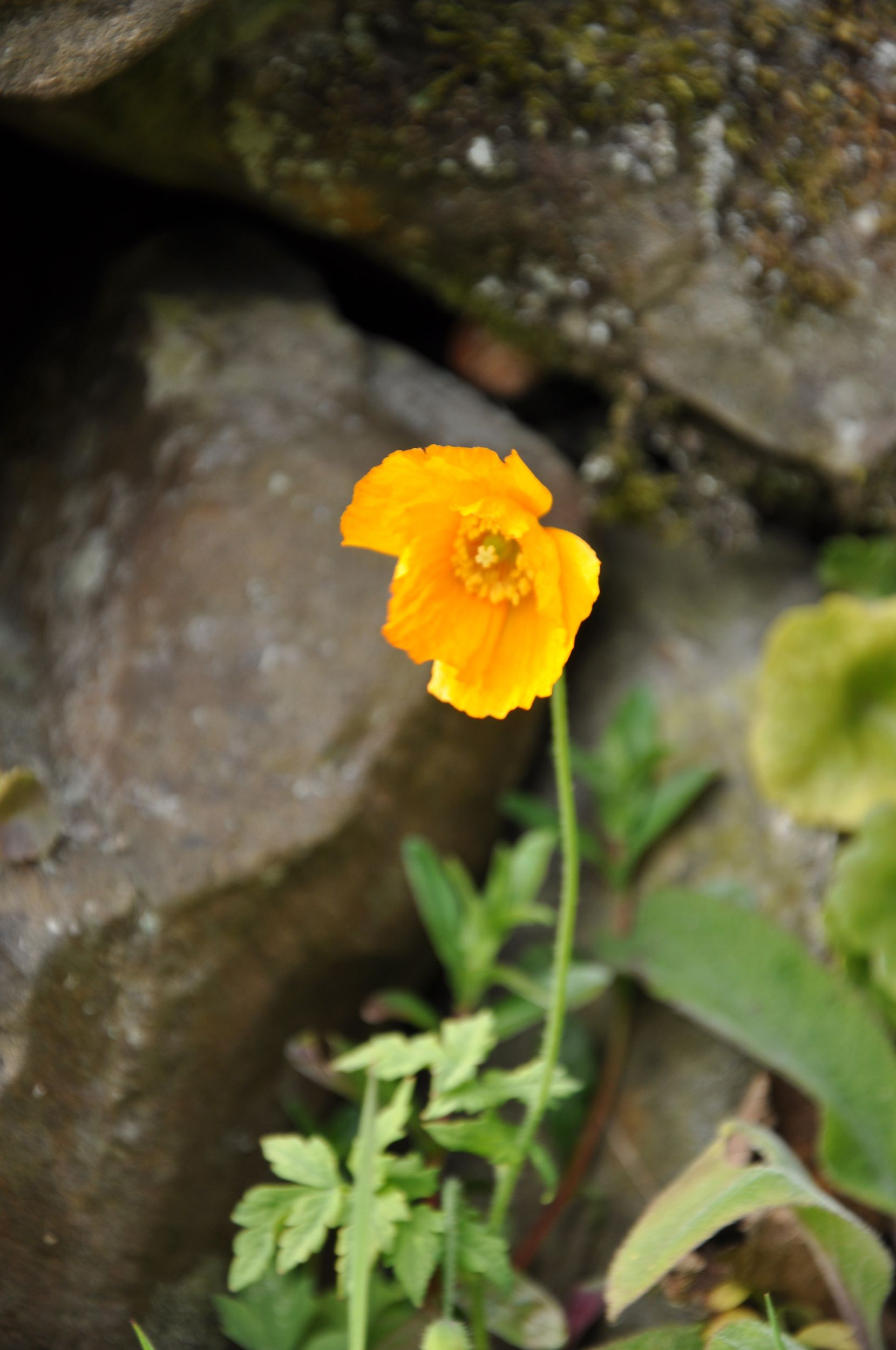 Welsh Poppy.jpg