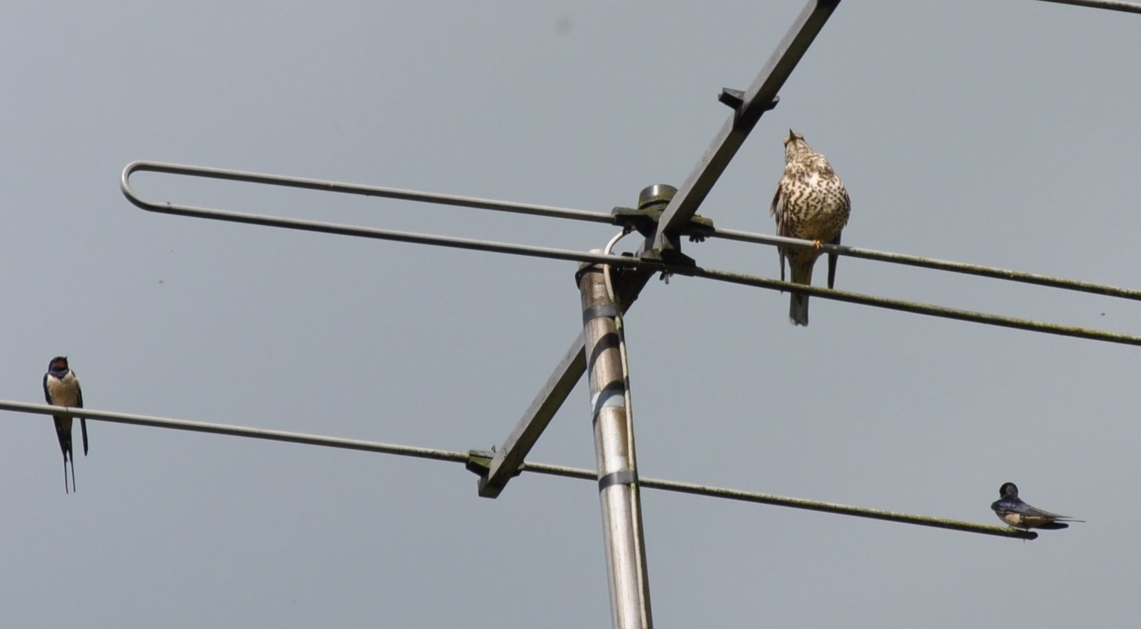 Mistle Thrush and Two Swallows on the Ariel.jpg