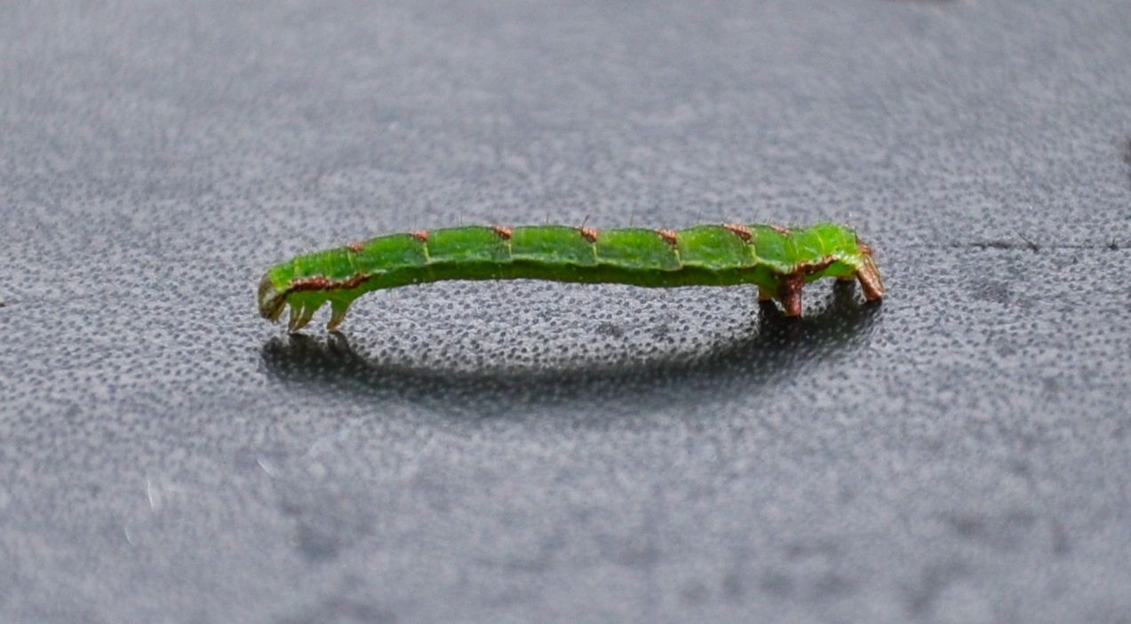 Peppered Moth Caterpillar.jpg