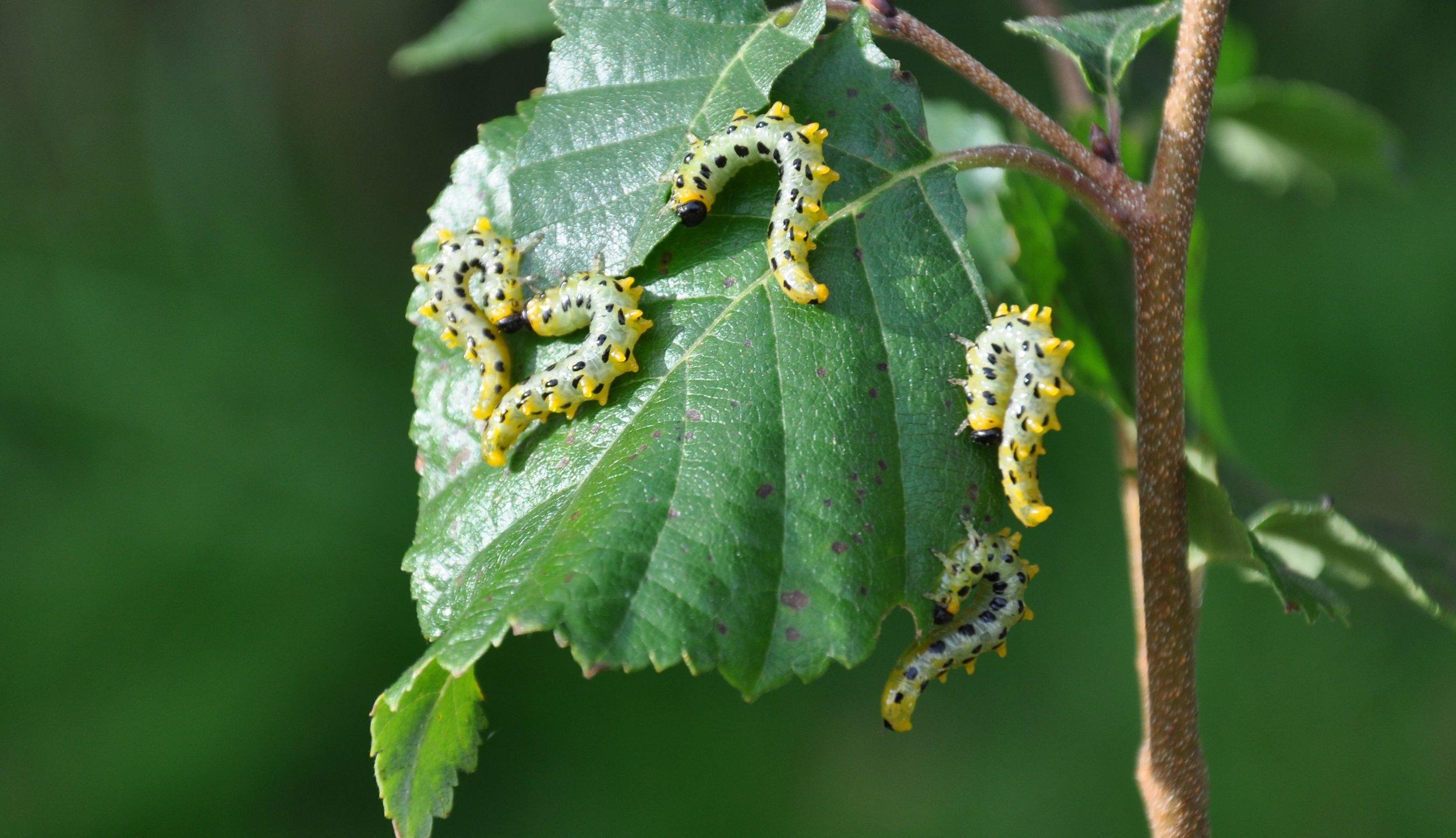 American Sawfly Larvae.jpg