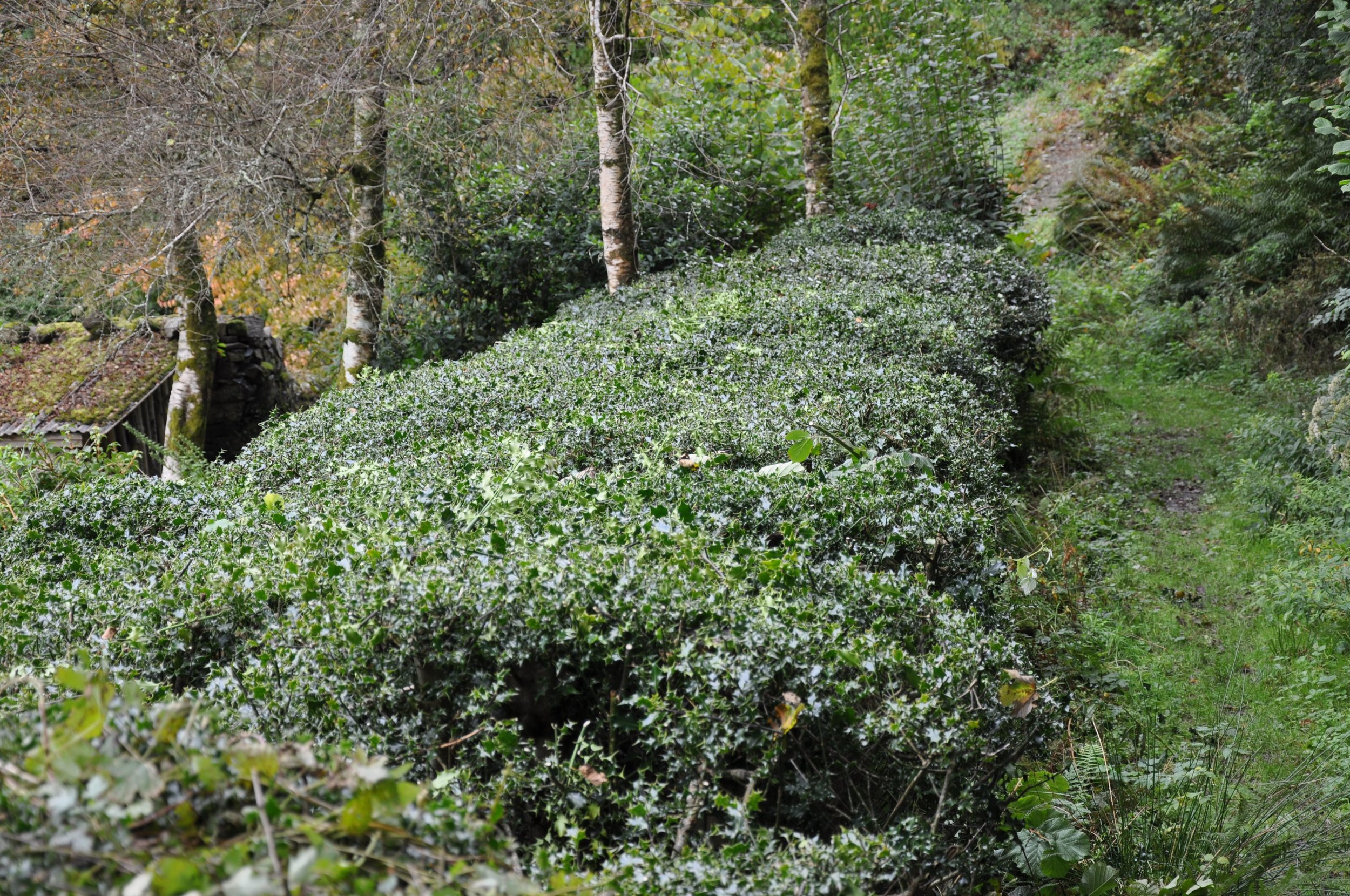 Autumn cut of the Holly Hedge.jpg