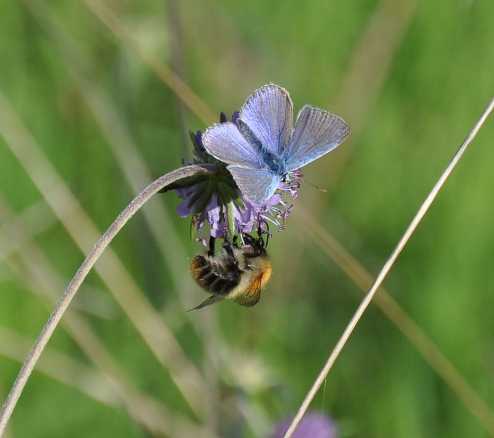 Common Blue and Bumble Bee on a Devil's Bit Scabious.jpg