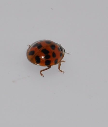 Ladybird with Ten Spots on each Wing.jpg