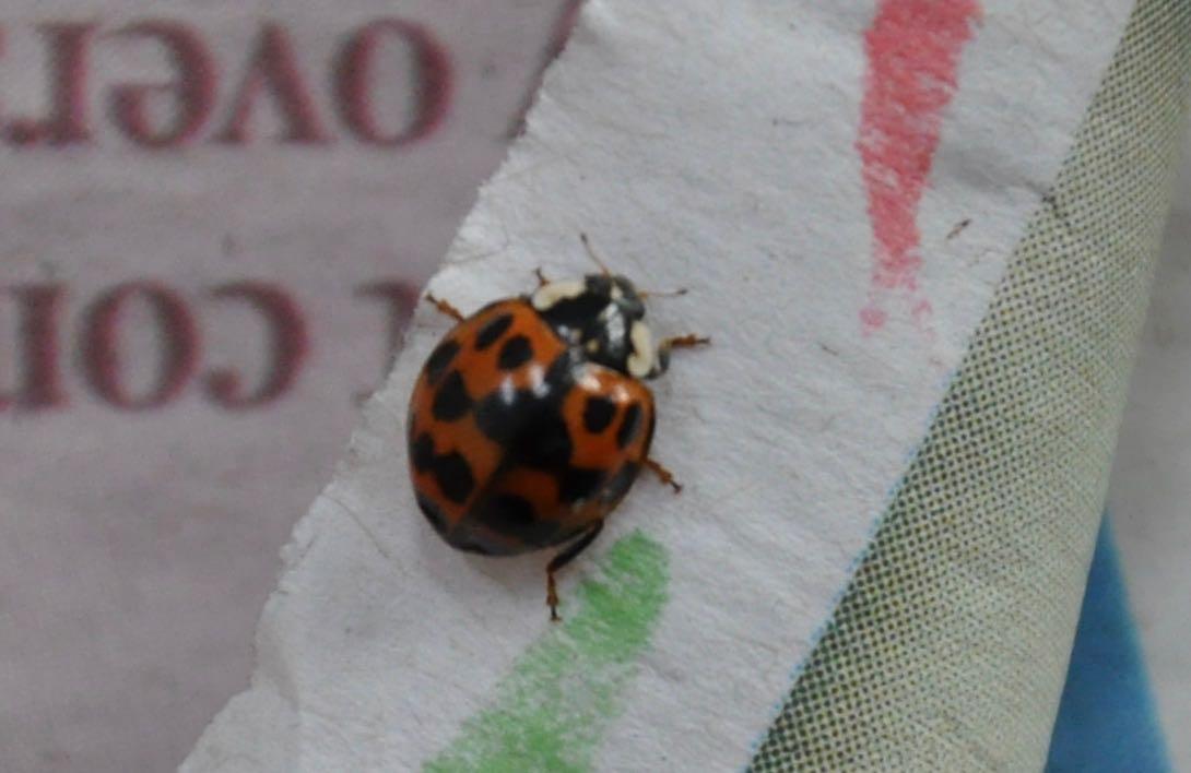 Nine spot Ladybird.jpg