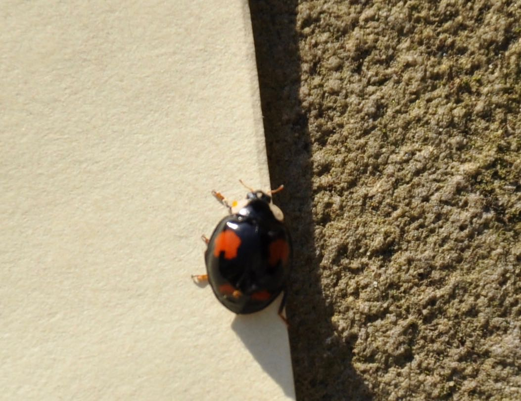 Red spots on a black back Ladybird.jpg