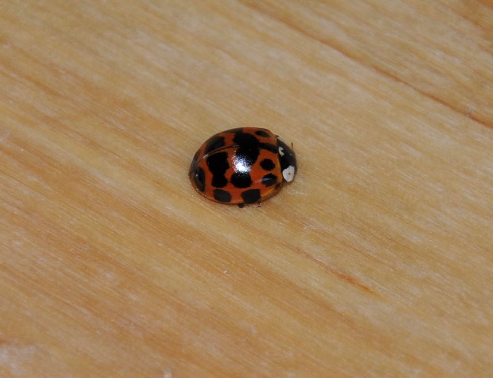 Nine spots on this ladybird.jpg