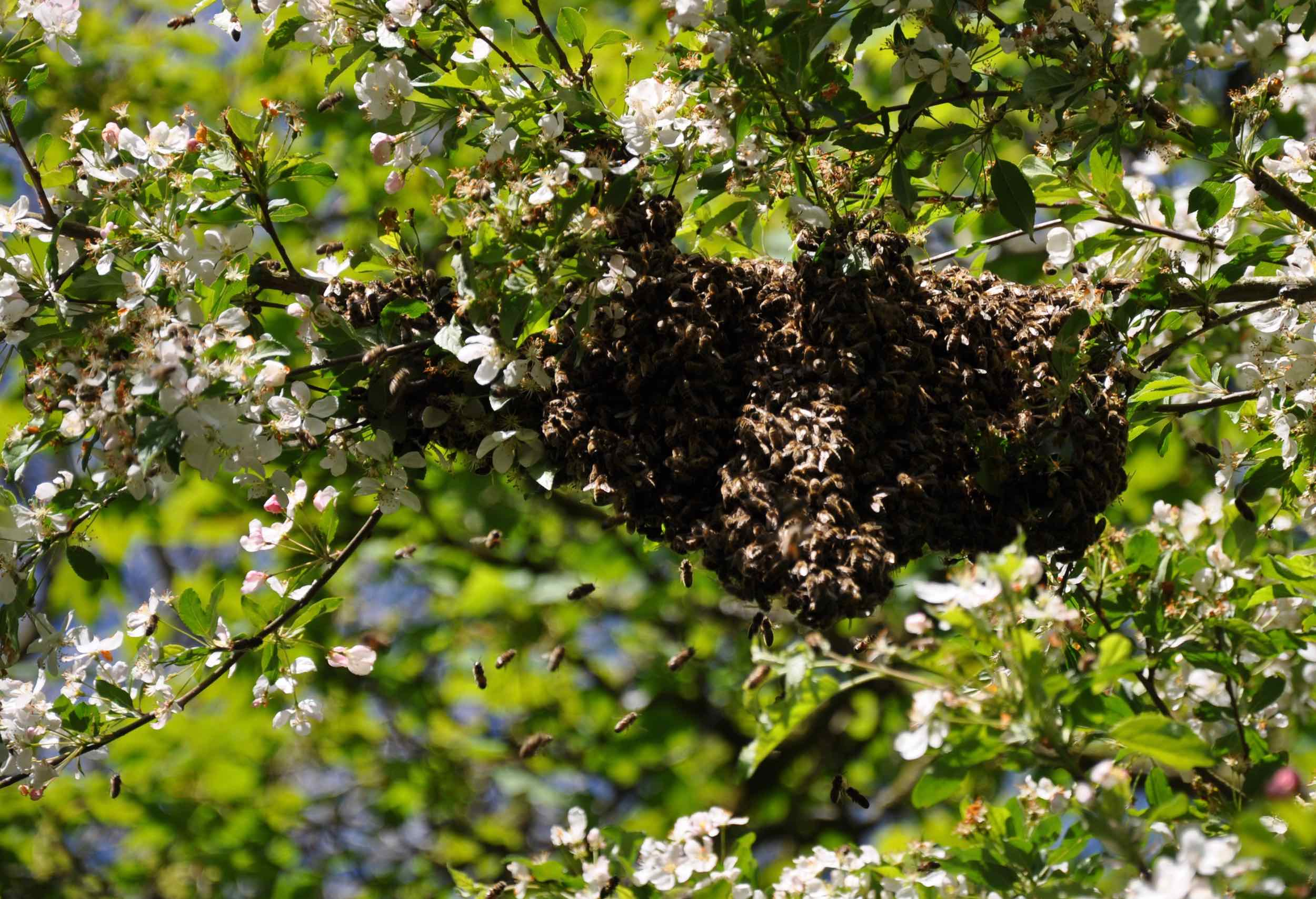 Crab Apple Swarm, late afternoon.jpg