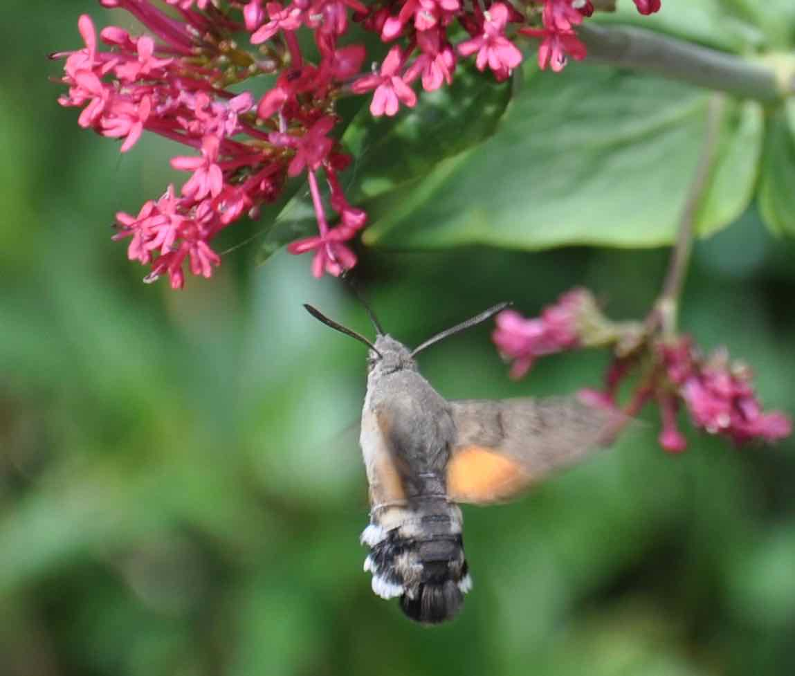 Humming-bird hawk-moth feeding on Centranthus 2.jpg
