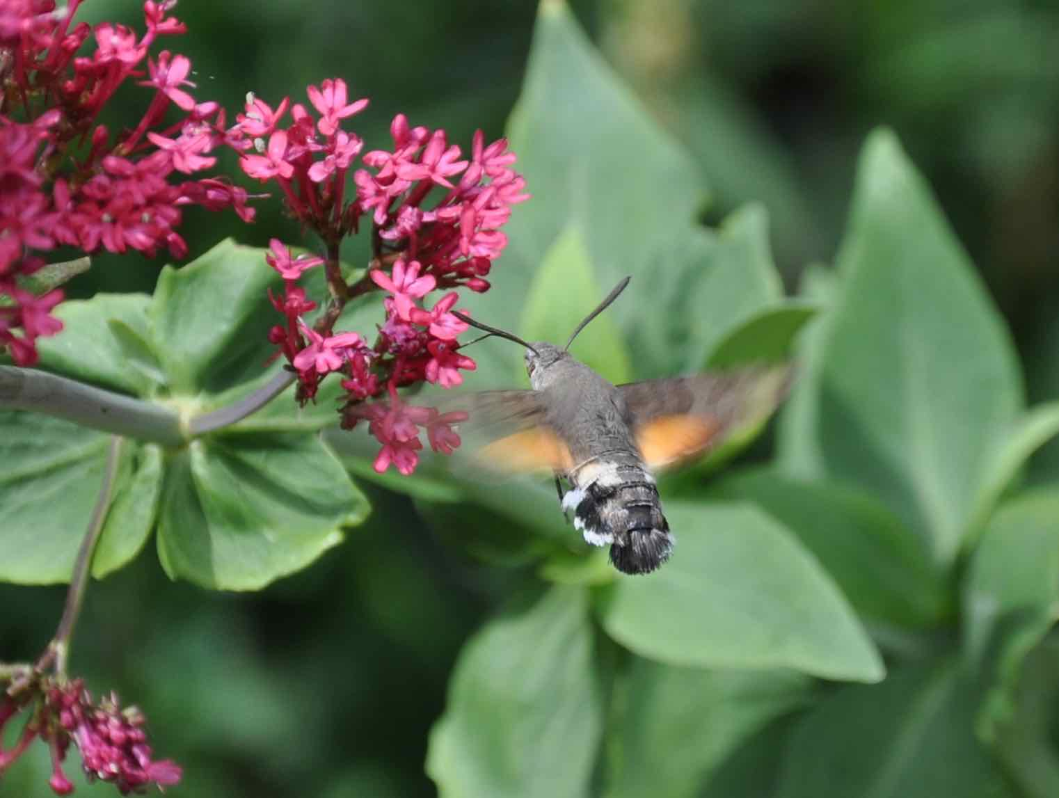 Humming-bird hawk-moth feeding on Centranthus 3.jpg