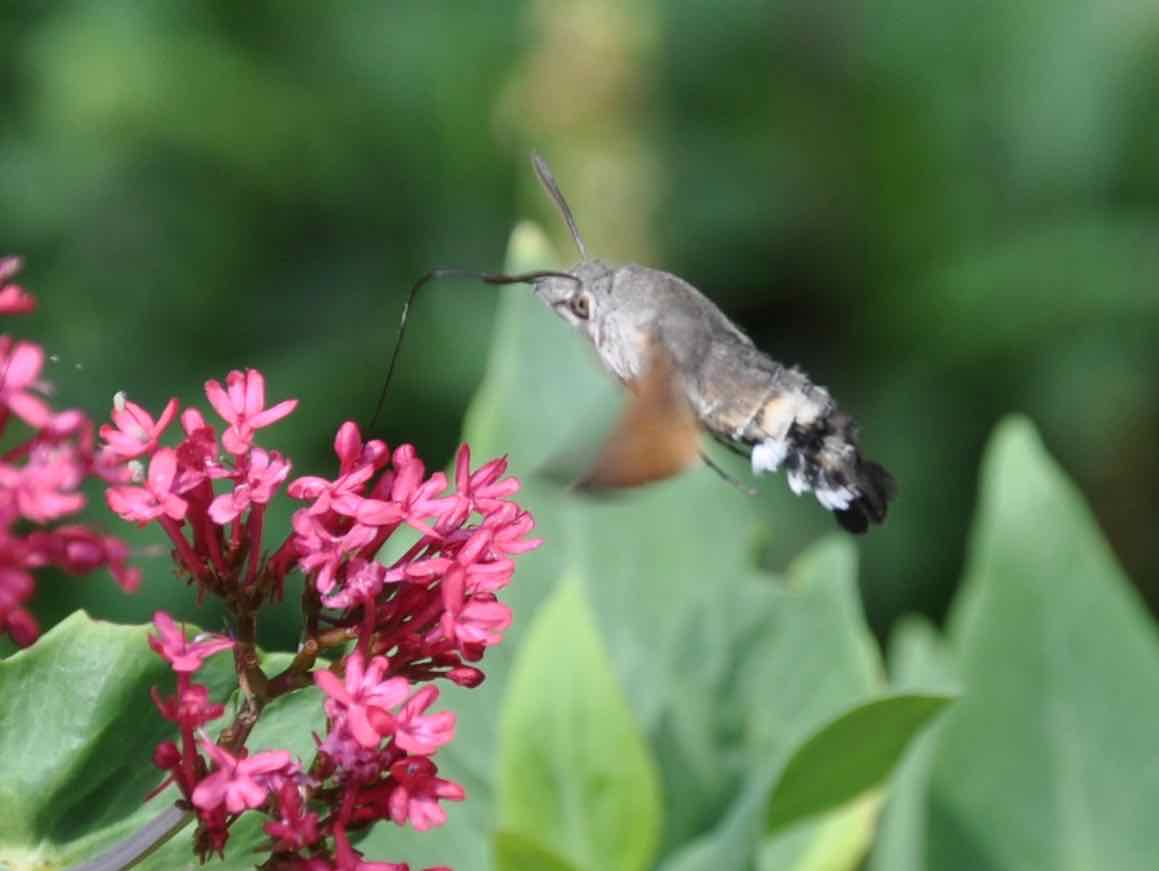 Humming-bird hawk-moth feeding on Centranthus 4.jpg